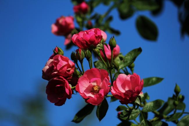 悉尼进入春季鲜花盛开粉色花海赏心悦目
